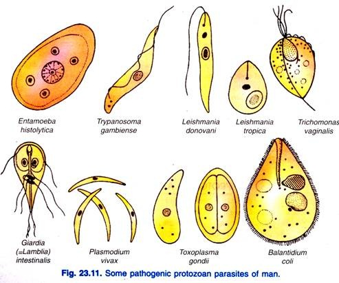 Protozoa Smallest Parasites But Deadly
