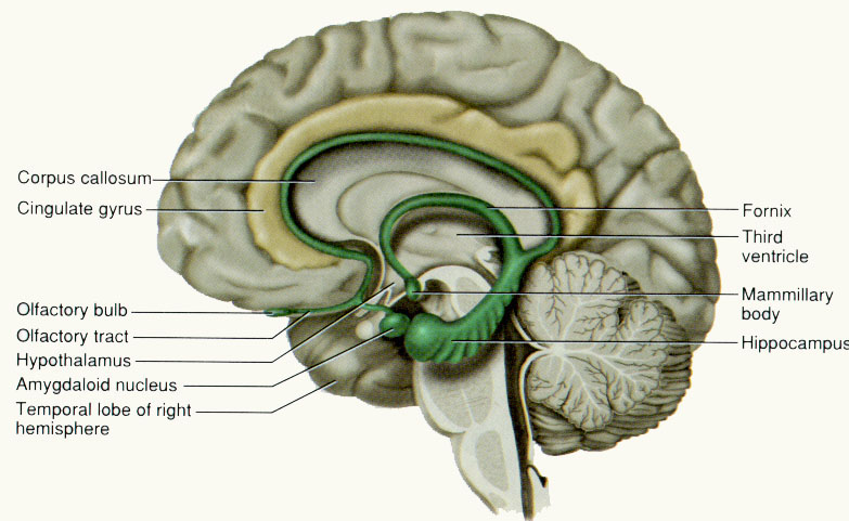 The limbic system and hippocampus ccuart Choice Image